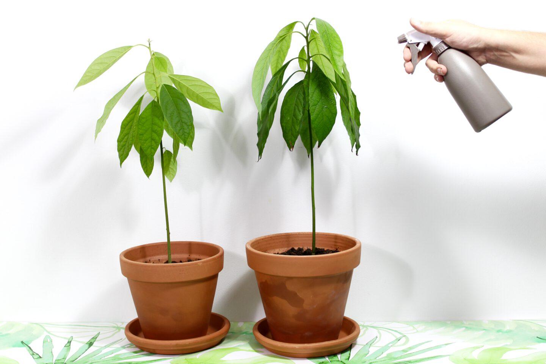 Hoe onderhoud je nou echt je eigen avocadoplant?